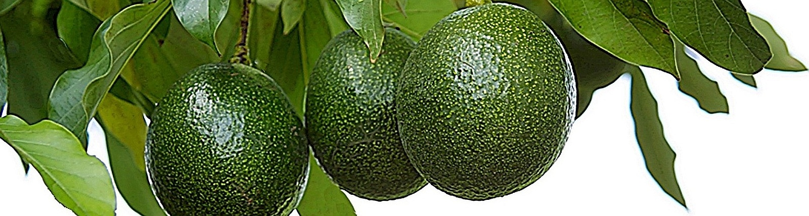 Aguacates 2